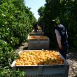 収穫後のオレンジ