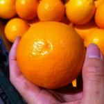『SnowQueen』バレンシアオレンジ