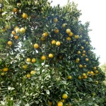 11月中旬のスノークイーン畑(ネーブルオレンジ)