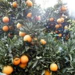 11月後半のスノークイーン畑(ネーブルオレンジ2)