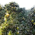 10月末のスノークイーン畑(ネーブルオレンジ)1