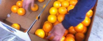 『SnowQueen』オレンジの選別をしました