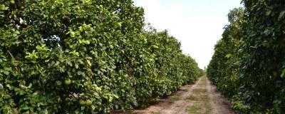 フロリダ産グレープフルーツは雨次第!