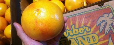 フロリダ産グレープフルーツ始まる